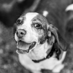 Captain_Spock18Jan201921-Edit.jpg (fredstrobel) Tags: dogs pawsatanta phototype atlanta blackandwhite usa animals ga pets places pawsdogs decatur georgia unitedstates us