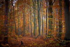 Herbstwald (.rog3r1) Tags: leica sl 50mm f14 summilux autumn herbst wald forest tree baum