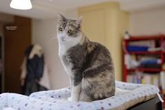 A7R3__DSC2157_DxO (Bazoka+Cynthia) Tags: pupu 小婆 新北市 樹林區 貓 cat