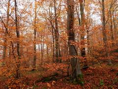Fall Colors... (M.L Photographie) Tags: forest forêt nature arbres arbre tree trees woods autumn fall automne colors france normandie normandy eure coolpix nikon p1000
