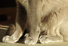 Tail 'n toes. (Jane Desforges) Tags: blue burmese cat female feline feet toes tail fur claws scout