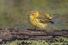 CA3I0958-Cape May Warbler (tfells) Tags: capemaywarbler songbird passerine bird nature wildlife heinz nationalwildliferefuge pennsylvania philadelphia