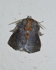 Unidentified small dark moth 2 (SierraSunrise) Tags: thailand phonphisai nongkhai isaan esarn animals insects moths small lepidoptera
