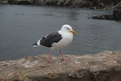 IMG_10947 (mudsharkalex) Tags: california pacificgrove pacificgroveca loverspointpark bird birds seagull