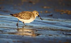 Dunlin (Chris Kilpatrick) Tags: chris canon canon7dmk2 outdoor wildlife nature bird dunlin beach douglas isleofman animal sigma150mm600mm