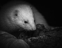 Ferret (danpower123) Tags: photo portrait ferret animal male smelly stinky bw colour pet 5d canon albino macro markiii wildlife england nature indoor