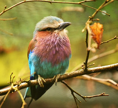 Lilac-breasted Roller (Beardy Vulcan II) Tags: england winter march 2017 birdworld aliceholtforrest farnham surrey lilacbreastedroller bird animal fauna coraciascaudatus
