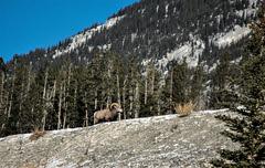 Mountain Sheep (Pbreezer) Tags: outdoors outdoorphotography travelalberta sheep mountains nature nationalparkcanada naturephotography nikon wildlife