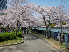 Osaka - Kema Sakuranomiya Park (Noti NaBox) Tags: osaka kema sakuranomiya sakura park parc japan japon cherry blossom cerisier fleur lumix lumixg80 lumixg85