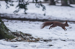 Weź to złap to (PanMajster) Tags: wiewiórka squirrel skok jump winter animal zwierze zima śnieg snow moment manual lens tair11a 135 28 pentax k5