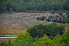 Vinyes dels Plans (esta_ahi) Tags: santmartísarroca penedès barcelona spain españa испания camídemasdencoll vinya viña viñedo vineyard poda vitisvinifera