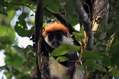 Udzungwa red colobus, Udaungwa Mountains National Park in Tanzania (inyathi) Tags: eastafrica tanzania africananimals udzungwaredcolobus colobus redcolobus piliocolobusgordonorum monkeys primates udzungwa forests africanwildlife nationalpark rainforest africa