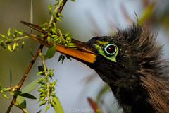 Anhinga (DonMiller_ToGo) Tags: wildlife venicerookery closeup nature onawalk birds outdoors birdwatching anhinga d810 rookery florida