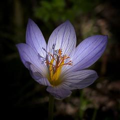 Autumn Gem (MrBlueSky* AWAY) Tags: flower petal nature garden horticulture outdoor colour kewgardens royalbotanicgardens london pentax pentaxart pentaxlife pentaxawards pentaxflickraward pentaxk1mkii aficionados