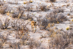 the long march (pranav_seth) Tags: kgalagadi desert africa lion wildafrica southafrica lioness blackmanedlions morning sunrise bush kgalagaditransfrontierpark