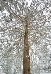 Day 13 of 365 - Big (gcarmilla) Tags: big 365project oneaday tree snow winter westoverpark harrisonburg virginia