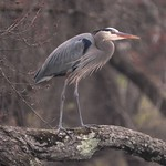 5228ex GBH overlooking Little Pigeon River thumbnail