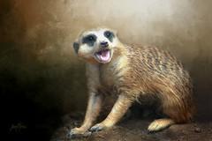 Meerkat..... (Patlees) Tags: meerkaat animal texturaltuesday group dt textured