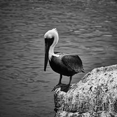 (mgschiavon) Tags: blackandwhite blackwhite bw bird sea nature california