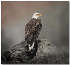 _NIK5398 (cynthiathayer2017) Tags: 2016 bald california eagle falls klammath oregon
