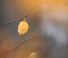 The Autumn Leaf (captures.in.time) Tags: leaf birch silver forrest cairngorm cairngorms aviemore scotland leave tree sun autumn highlands minimal minimalistic simple