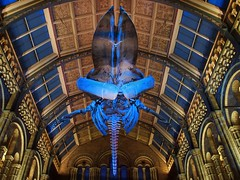 Blue whale 'Balaenoptera musculus' skeleton - Hintze Hall, Natural History Museum, London SW7. (edk7) Tags: olympusomdem5 edk7 2018 uk england london londonsw7 royalboroughofkensingtonandchelsea southkensington cromwellroad naturalhistorymuseum hintzehall bluewhale balaenopteramusculus hope skeleton architecture building oldstructure alfredwaterhouse1881 victorian terracotta romanesquerevival gradeilisted arch column gargoyle sculpture polychrome dentil colonnade animal museum skylight female