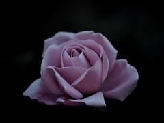 Blue light (Kito K (fxkito2)) Tags: japan tokyo autumn macro flower omd rose nature closeup lumix fineart olympus blooming