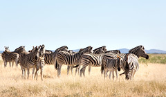 Zebra Family _4421-2 (hkoons) Tags: etoshanationalpark etoshapan nationalpark nebrowniiwaterhole southernafrica africa african etasha kunene namibia okaukuejo oshana oshikoto otjozondjupa zebra animal animals beast herbivore landscape mammal outdoors outside panorama park stripes wild zebras