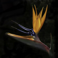 Back Lit Bird Of Paradise Flower In The Garden (Bill Gracey 22 Million Views) Tags: fleur flower flor floralphotography macrolens color colorful colors ornage blue red yellow orange ambientlight roguegrid backlit backlighting yongnuo yongnuorf603n garden lakeside