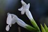 Fleur de pluie (jeangrgoire_marin) Tags: sage flower droplet tiny macro delicate white bokeh