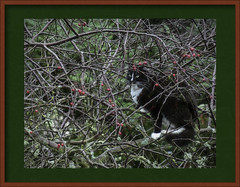 A Cat in a Crabapple Tree 🎄 - Season's Greetings to All (Colormaniac too - Many thanks for your visits!) Tags: seasonsgreetings holiday cat tuxedocat tree crabappletree winter december christmas garden pacificnorthwest olympicpeninsula washingtonstate topazstudio