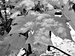 Mid November dusting (karma (Karen)) Tags: baltimore maryland leaves snow texture dof bokeh mono bw hmbt iphone