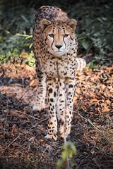 Cheetah (Soren Wolf) Tags: cheetah cheetahs big cat nikon d7200 animal animals 300mm zoo opole warm sunset short depth field dof nature going walking forward