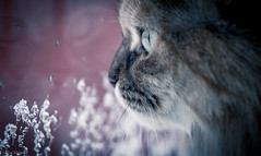 Loves The Crows! (Melissa M McCarthy) Tags: cat kitty bella pet animal portrait closeup face eyes cute cooltone side profile birdwatching window reflection pink snow ice winter scene rescue senior newfoundland canada canon7dmarkii sigma100mmmacro inexplore