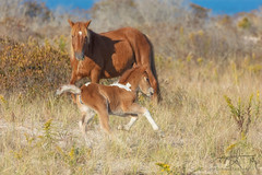 4th Gear (Michael Rickard) Tags: foal horse wildhorses assateague assateagueisland nationalseashore seashore maryland wildlife babyanimals