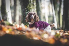 316/365 - Suki (Forty-9) Tags: dogphotography pet dog springerspaniel spaniel suki monday photoaday 12112018 12thnovember2018 november day316 316365 project3652018 3652018 2018 365 project365 forty9 tomoskay lightroom ef70200mmf28liiusm eflens eos60d canon