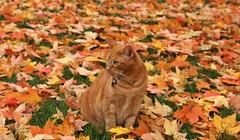 Mack, for your enjoyment (Kerri Lee Smith) Tags: mack tabby cat orangecat orangetabby gingercat gingertabby autumn fall leaves fallleaves autumnleaves fallcolors autumncolors sooc cloudywb cloudywhitebalance