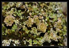 Cladonia pocillum (cquintin) Tags: fungi lichen ascomycota pezizomycotina lecanoromycetes lecanorales cladoniaceae cladonia pocillum