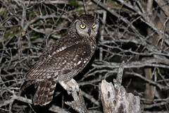 Spotted Eagle-Owl (Bubo africanus) (Ardeola) Tags: buboafricanus bubo spottedeagleowl eagleowl owl fläckuv uggla krugernationalpark kruger southafrica wildlife