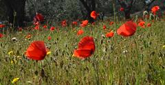 Poppies (johco266) Tags: papaveraceae inflandersfields klaproos poppy poppies macro macrophotography wildflower wildflowers abruzzo italy papaver flower nikon coth5