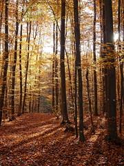 Herbststimmung (Digitalsucher) Tags: wood forest herbst autumn digital nature orange gelb yellow olympus 25mm18 2518 panasonic dmcgx7 gx7 dslm csc mft m43 landschaft landscape jahreszeit colors