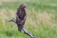 27 juin 2018-_8503533 (fix.68) Tags: aiglecriard oiseau toilettage