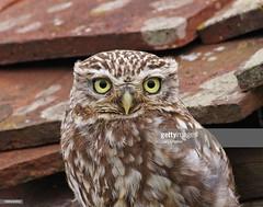 Little Owl (Gary Chalker, Thanks for over 3,000,000. views) Tags: owl littleowl bird pentax pentaxk3ii k3ii pentaxfa600mmf4edif fa600mmf4edif fa600mm 600mm