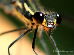 Dragonflies (Peter.Stokes) Tags: australia colour colourphotography dragonfly flight flying garden insects macro native nature photography wildlife dragonflies wings