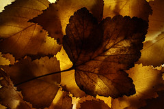 Last of the Autumn Leaves (zeity121) Tags: autumn fall autumncolours autumnleaves leaves lightbox backlighting backlit
