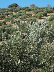 Olive Farming Spain Andalusia © Olivenanbau Spanien Andalusien © Olivar Andalucía © (hn.) Tags: provinciadecordoba sierradehorconera priegodecordoba southofpriegodecordobatown sierradejaula sierrahorconera spain europe andalusia andalucia spanien eu europa andalusien heiconeumeyer copyright copyrighted tp2018anda es españa olivenbaum pflanze plant anbau agriculture landwirtschaft ölbaum oleaeuropaea olivegrove olivetree olivo aceituno sierrassubbéticas parquenaturaldesierrassubbéticas parquenatural sierra sierras subbéticas subbética naturpark