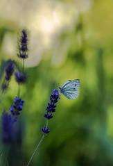 Frukost (Katarina Holmstrom) Tags: fjäril lavendel lav