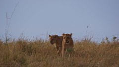 IMGP8882 Twins (Claudio e Lucia Images around the world) Tags: serengeti tanzania lion lioness tree climbing jump jumping africa cat bigcat feline savana sunrise pentax pentaxk3ii sigma sigma50500 bigma sigmaart pentaxart nationalgeographic africageographic animale erba cielo campo paesaggio cub younglion lioncub eyes eyescontact mammifero orso albero foresta