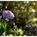 Hydrangea, The Scilly Isles, UK