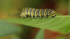 Chewing on the Green (Ken Krach Photography) Tags: caterpillar
